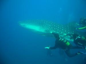 Whale Shark - Ponta 2
